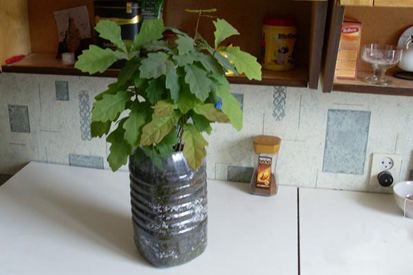 Выращивание саженца дуба