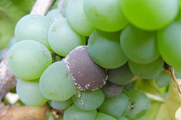 Гроздь винограда с признаками серой гнили