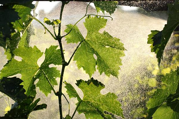 Опрыскивание виноградной лозы