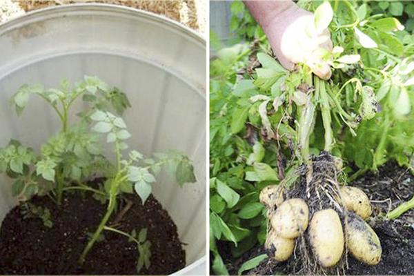 Выращивание картошки в ведре