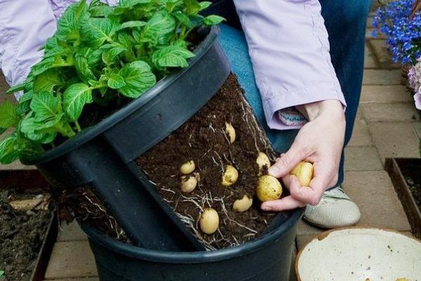 Сбор картофеля, выращенного в ведре