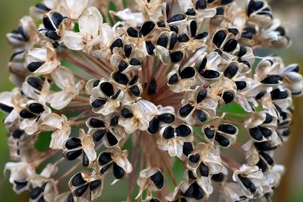 Цветонос лука с семенами