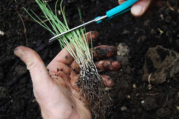 Обрезка рассады лука перед высадкой в открытый грунт