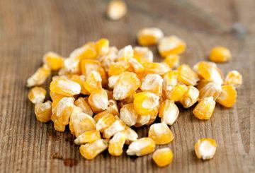 Высушенные зерна кукурузы