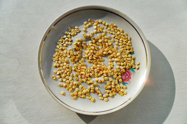 Семена перца в блюдце
