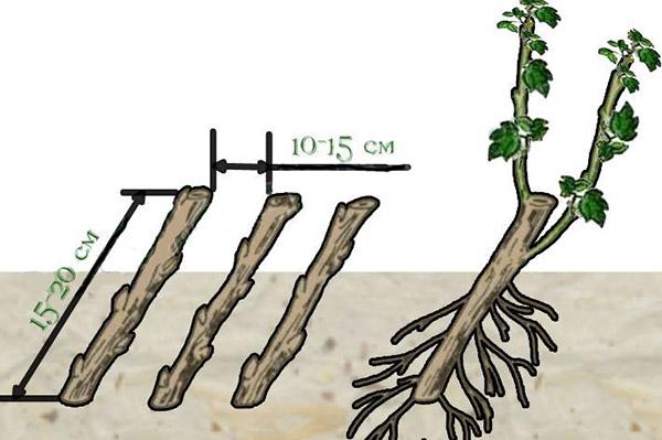 Схема посадки черенков йошты