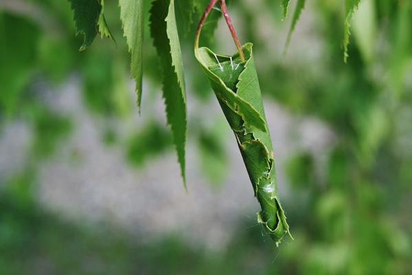 Лист, свернутый гусеницей листовертки