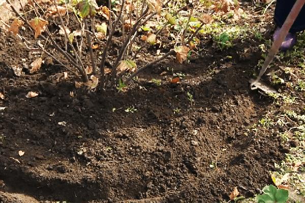 Рыхление почвы под смородиной