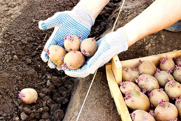 Посадка пророщенного картофеля