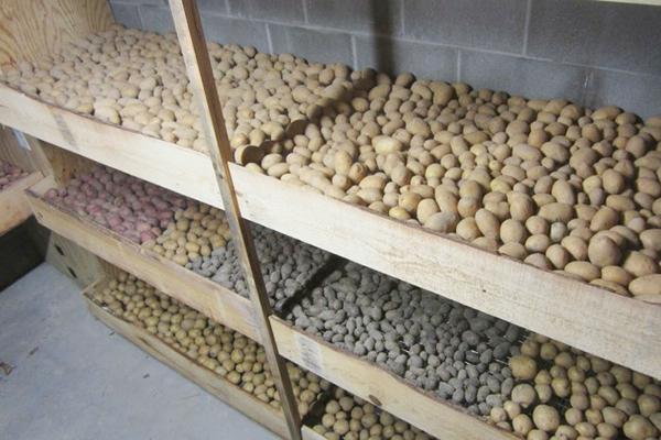 Семенной картофель в подвале