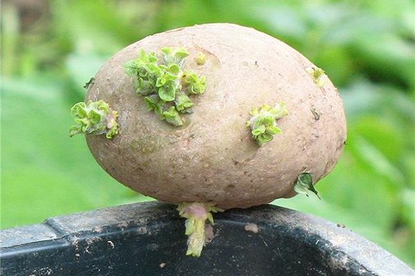 Клубень картофеля с зелеными ростками