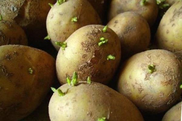Картофель, проросший на свету