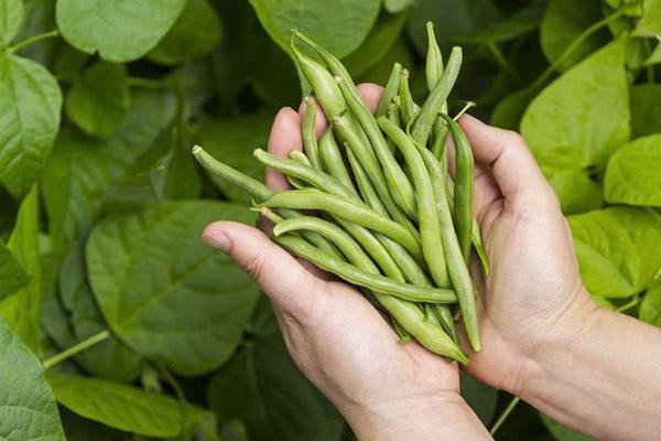 Сбор урожая стручковой фасоли