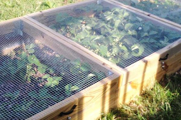 Выращивание клубники в ящиках с сетками