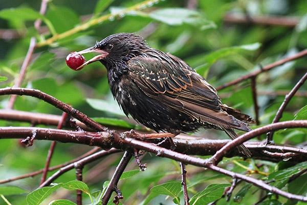 Птица с вишней в клюве