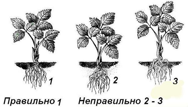 Заглубление корневой шейки клубники