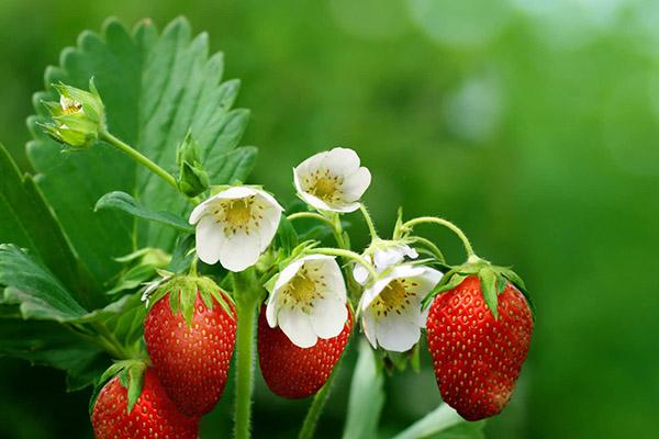 Цветы и ягоды клубники