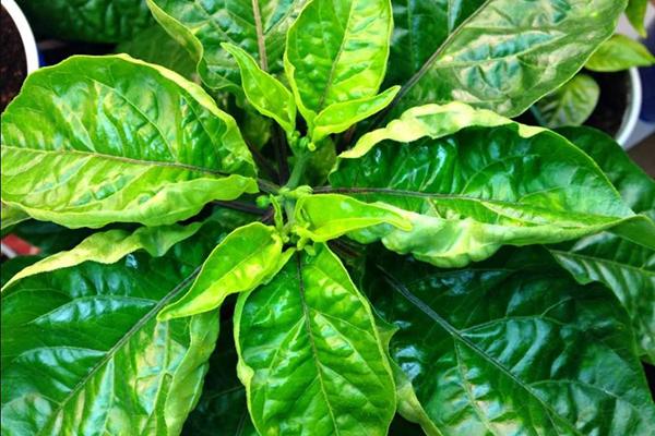 Деформированные листья перца