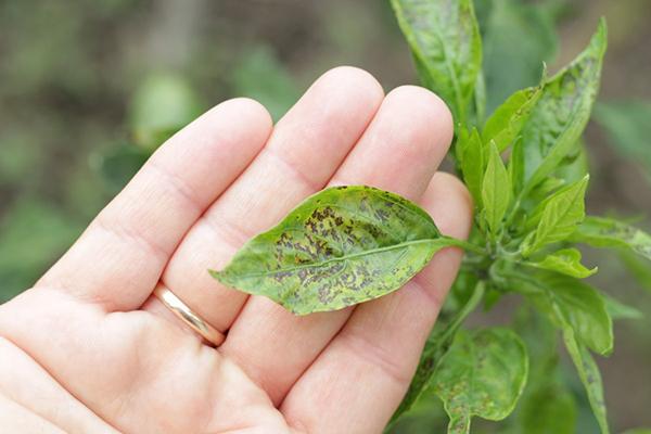 Пятна на листьях перца