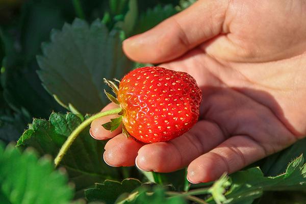 Крупная ягода на кусте клубники