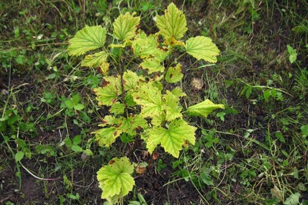 Молодой куст смородины с желтыми листьями