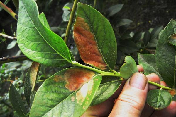 Ржавые пятна на листьях голубики