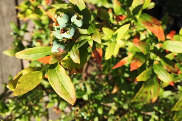 У голубики желтеют листья