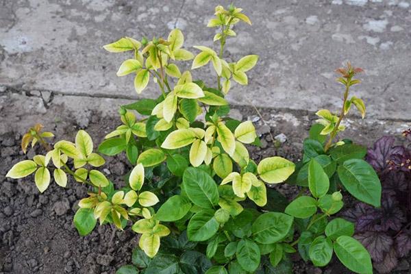У голубики бледно-зеленые листья