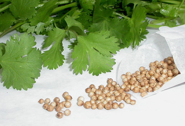 Семена кинзы - кориандр