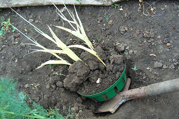 Выкапывание корзинки с тюльпанами