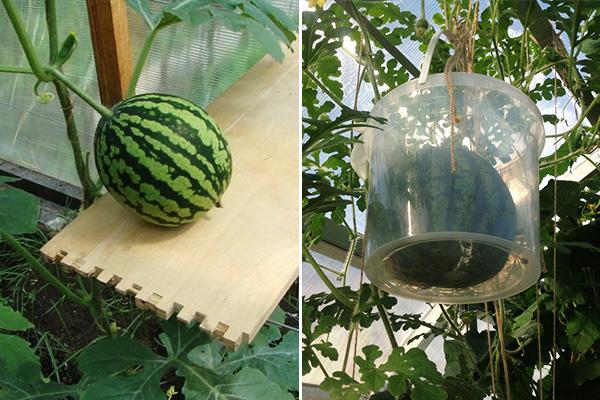 Поддержка плодов арбузов подручными средствами