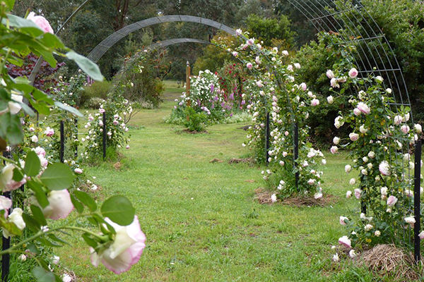 Подвязка плетистых роз на арки