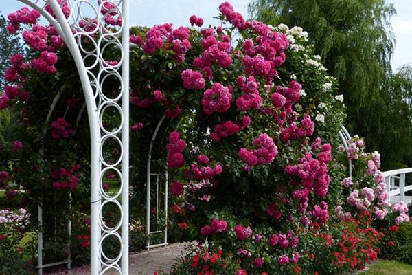 Арочные опоры для плетистых роз