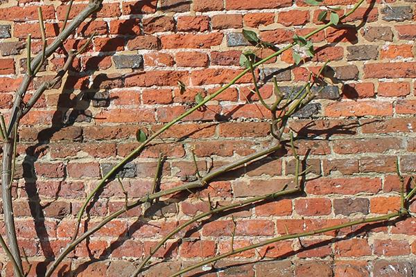Плетистые розы на кирпичной стене