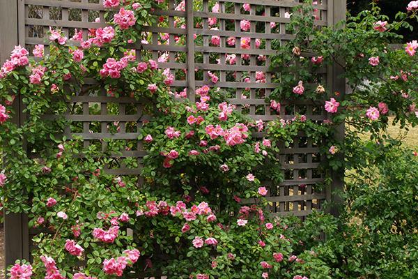 Пергола с плетистыми розами
