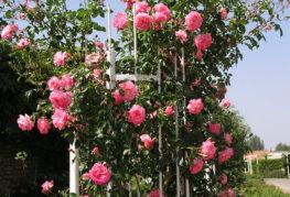Металлическая опора для плетистых роз