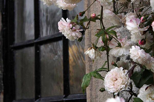 Плетистые розы на каменной стене