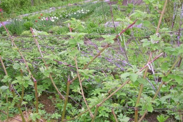 Малина в огороде