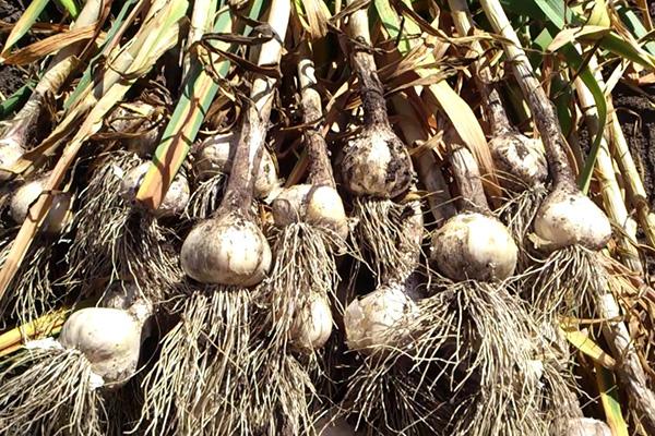 Уборка урожая чеснока