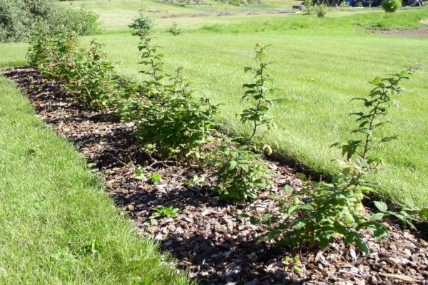 Саженцы малины в саду