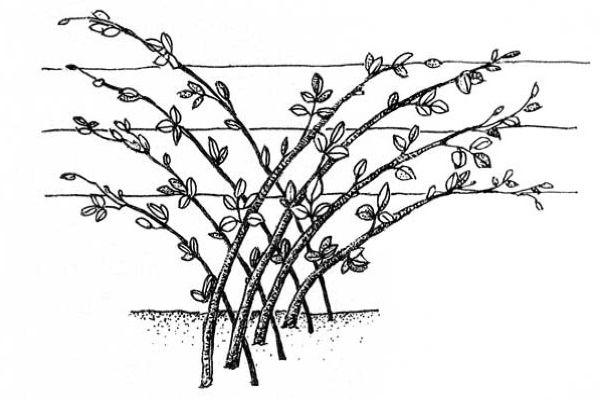 Веерная подаязка малины
