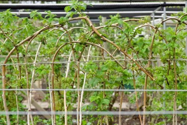 Подвязанная малина