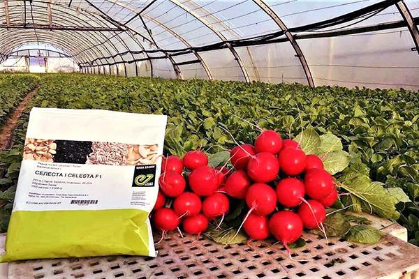 Выращивание редиса Селеста F1 в теплице