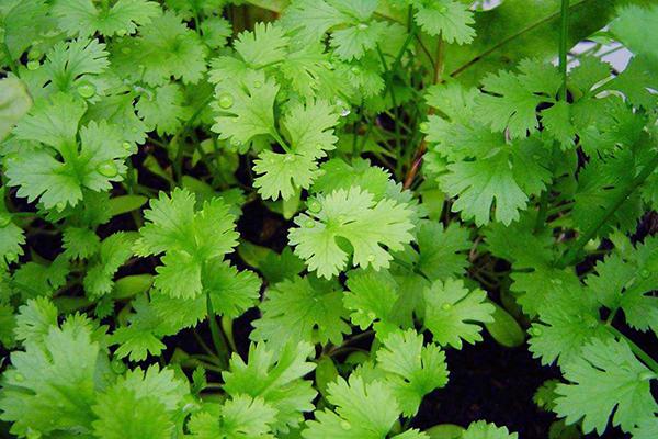 Молодая зелень кинзы