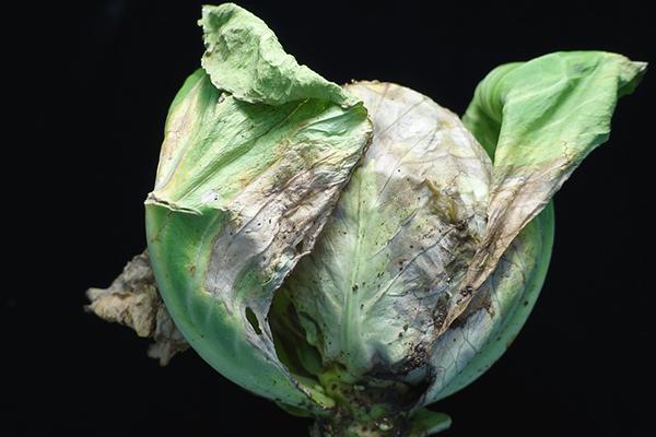 Черная гниль на белокочанной капусте
