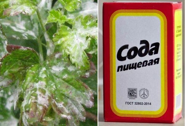 Сода при борьбе с грибковой болезнью