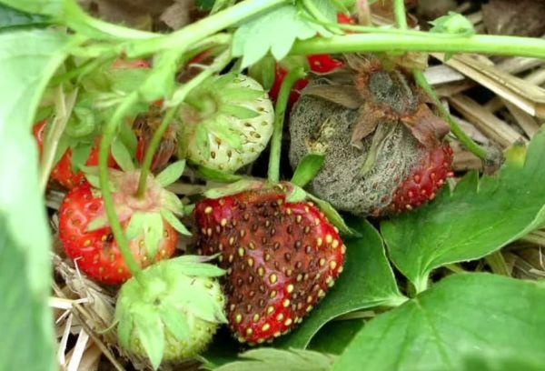 Болезни земляники садовой