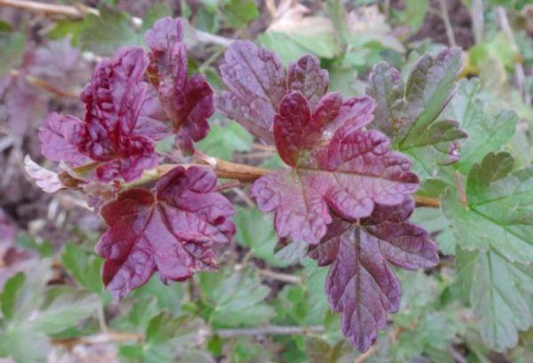 Покраснение листьев крыжовника