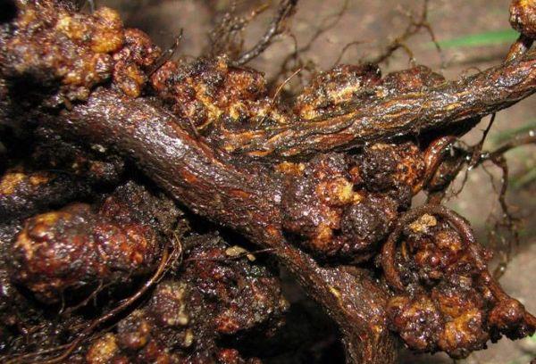 Бактериальный корневой рак малины