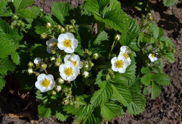 Цветки земляники